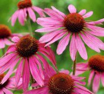 Die Echinacea Pflanze – eine wunderschöne Augenweide mit immunstärkender Wirkung