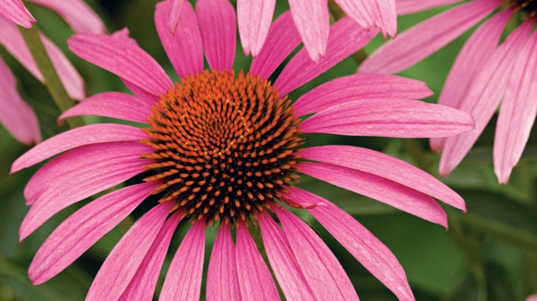 echinacea purpurea gesunde pflanze