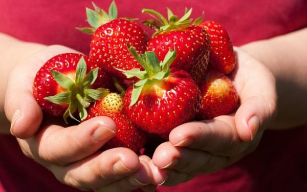 erdbeeren selber pflücken erdbeersaison
