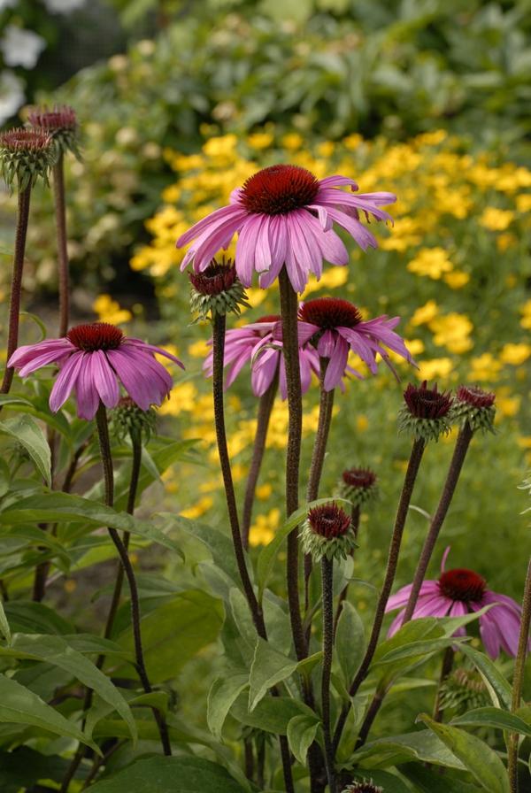 gesunde echinacea pflanze tipps