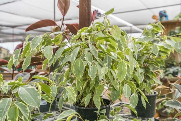 giftige Gartenpflanzen Giftpflanzen FeigenFicus