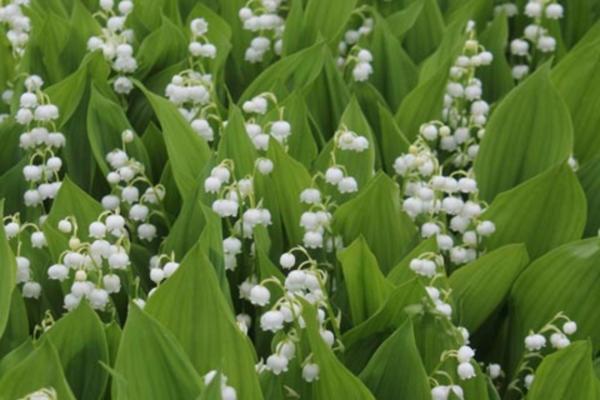 giftige Gartenpflanzen Giftpflanzen MaiglöckchenConvallaria majalis