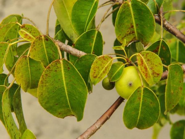 giftige Gartenpflanzen Giftpflanzen Manchinelbaum Hippomane mancinella