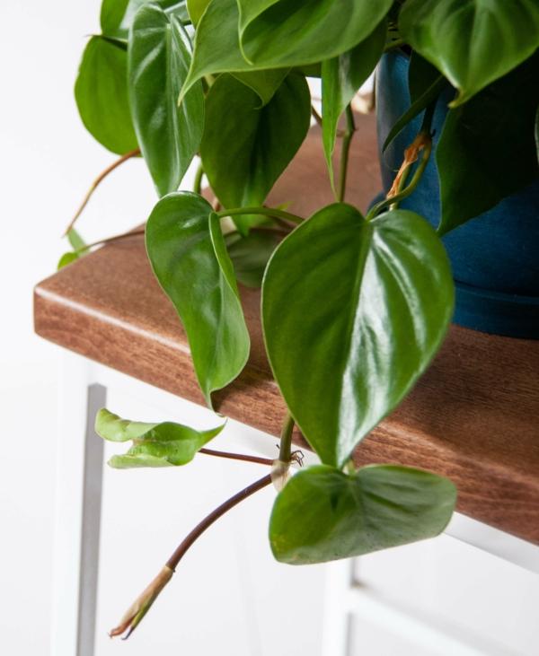 giftige Gartenpflanzen Giftpflanzen Philodendren BaumfreundPhilodendron