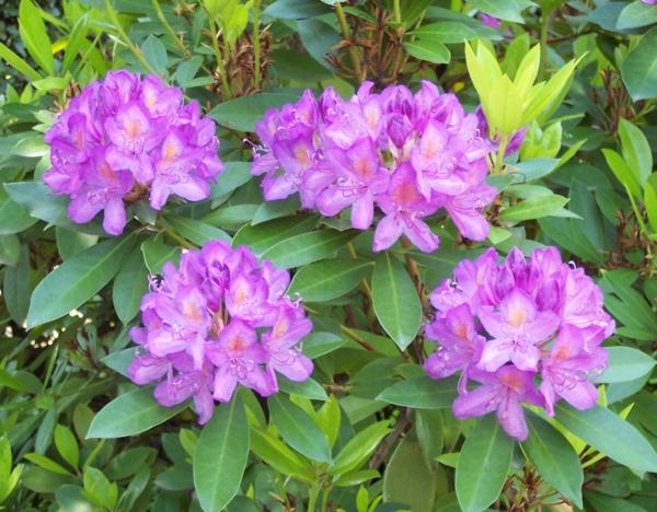 giftige Gartenpflanzen Giftpflanzen Pontische Rhododendron Rhododendron ponticum