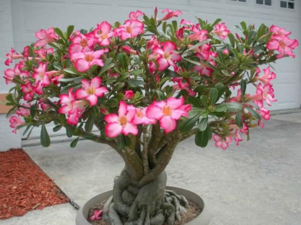 giftige Gartenpflanzen Giftpflanzen WüstenrosenAdenium