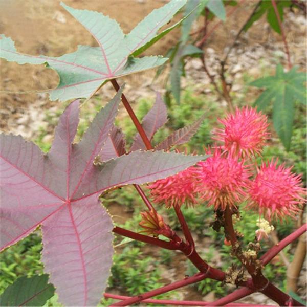 giftige Gartenpflanzen Giftpflanzen Wunderbaum Rizinus Ricinus communis