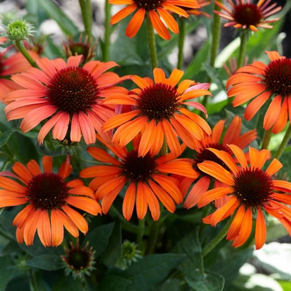 orangenfarbene echinacea pflanze