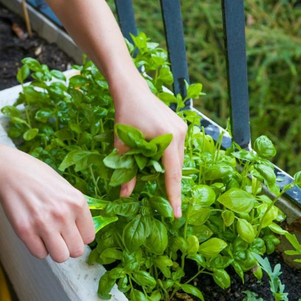 Balkongarten anlegen Basilikum schneiden Kräuter auf dem Balkon Kräutergarten