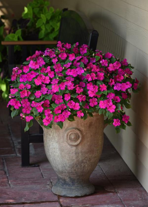 Fleißiges Lieschen Blütenpower in Violett den Outdoor-Bereich den ganzen Sommer lang schmücken