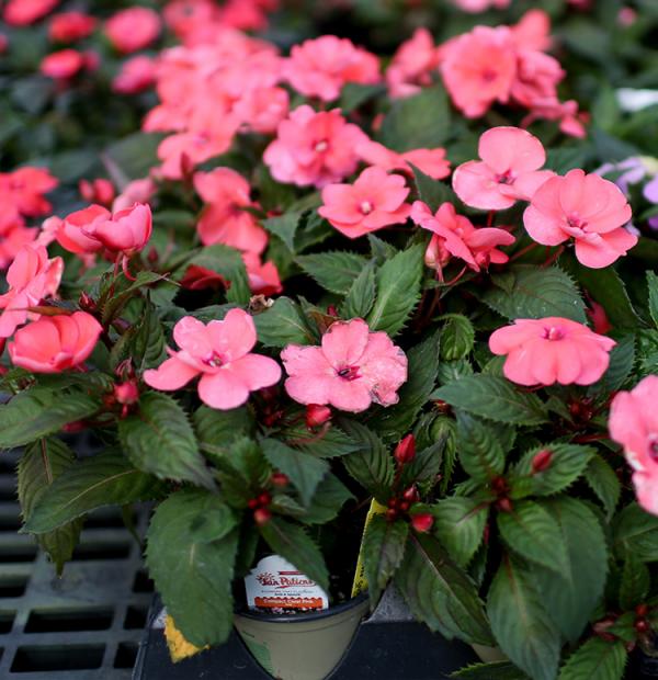 Fleißiges Lieschen Blütenpracht in Rosa zunehmend während des Sommers bei richtiger Pflege