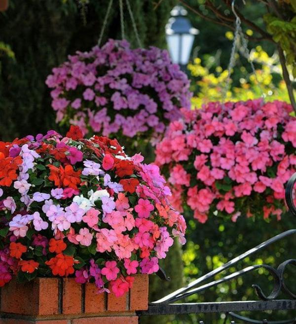 Fleißiges Lieschen beneidenswerte Blütenpower von Mai bis Oktober in hängenden Kästen verschiedene sanfte Farben rosa weiß orange violett