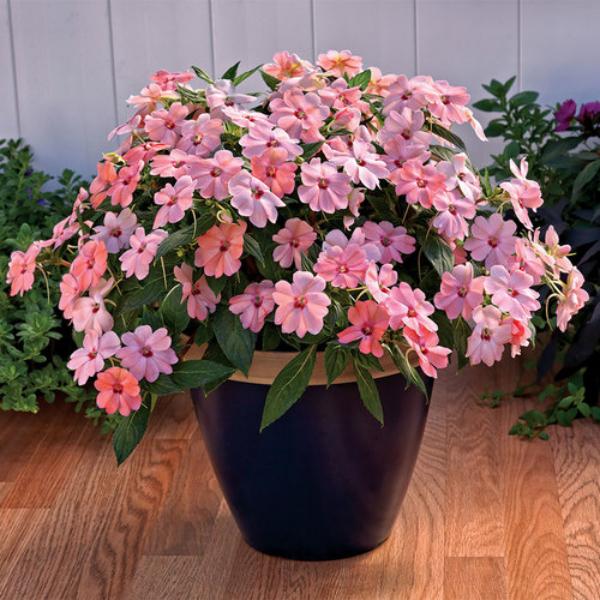 Fleißiges Lieschen schöne Blüten in Zartrosa nach Verblühen entfernen
