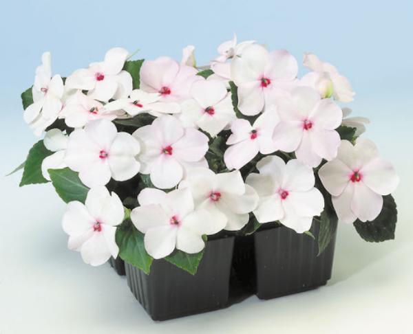 Fleißiges Lieschen weiße Blüten dunkelgrüne Blätter ein schöner Teil von jedem Balkon Garten