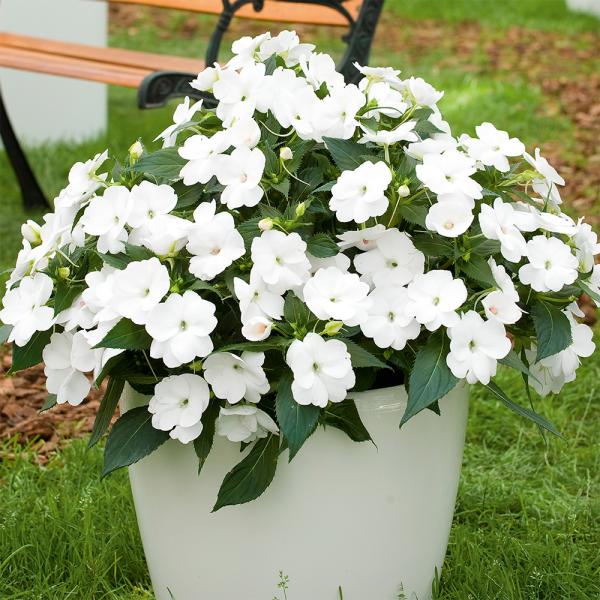 Fleißiges Lieschen weiße Blüten sattgrüne Blätter im Eimer im Garten Klassiker für jeden Outdoor-Bereich