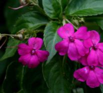 Fleißiges Lieschen zeigt Blütenpower den ganzen Sommer lang