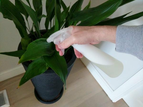 Trauermücken bekämpfen Hausmittel Zimmerpflanze besprühen