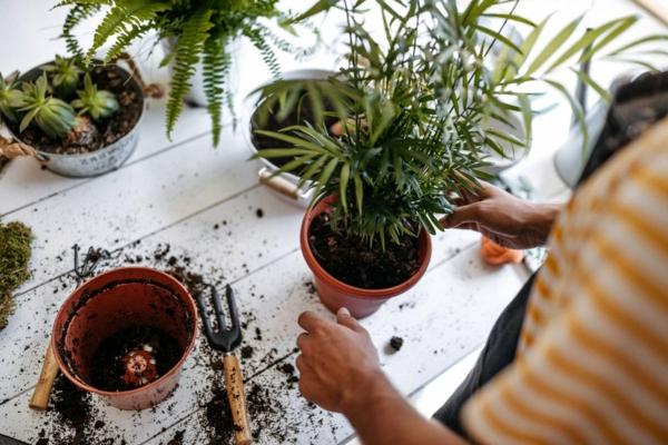 Trauermücken bekämpfen Hausmittel Zimmerpflanzen umtopfen