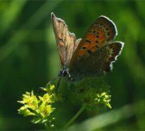 Frauenmantel – ein pflegeleichter Bodendecker mit heilender Wirkung