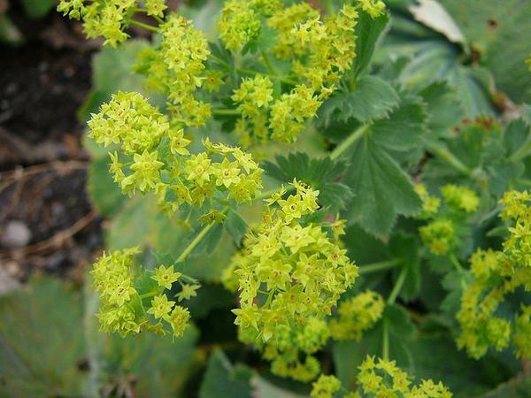 frauenmantel alchemilla zarte blüten gelb
