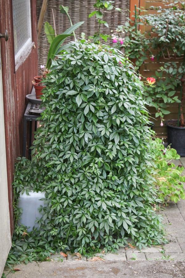 gartenpflanze rankend jiaogulan kraut der unsterblichkeit