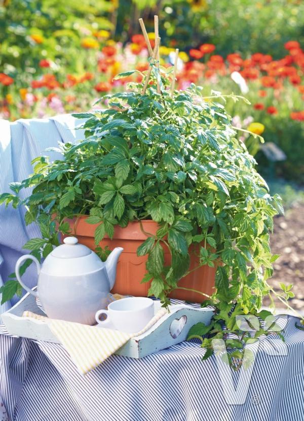 gesunde rankende pflanze kraut der unsterblichkeit