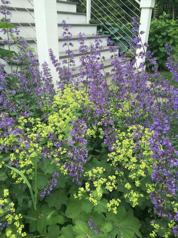 gesunde staudenpflanze frauenmantel
