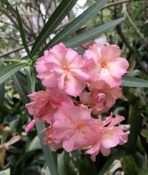 hellrosa blüten oleander pflege garten