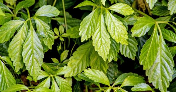 kraut der unsterblichkeit jiaogulan gesunde heilpflanze