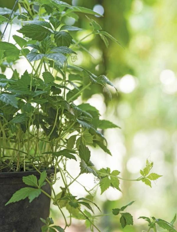 kraut der unsterblichkeit jiaogulan rankende pflanze gesund