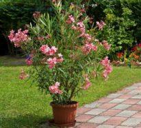 Die richtige Oleander Pflege für eine schöne Blütenpracht mit mediterranem Flair