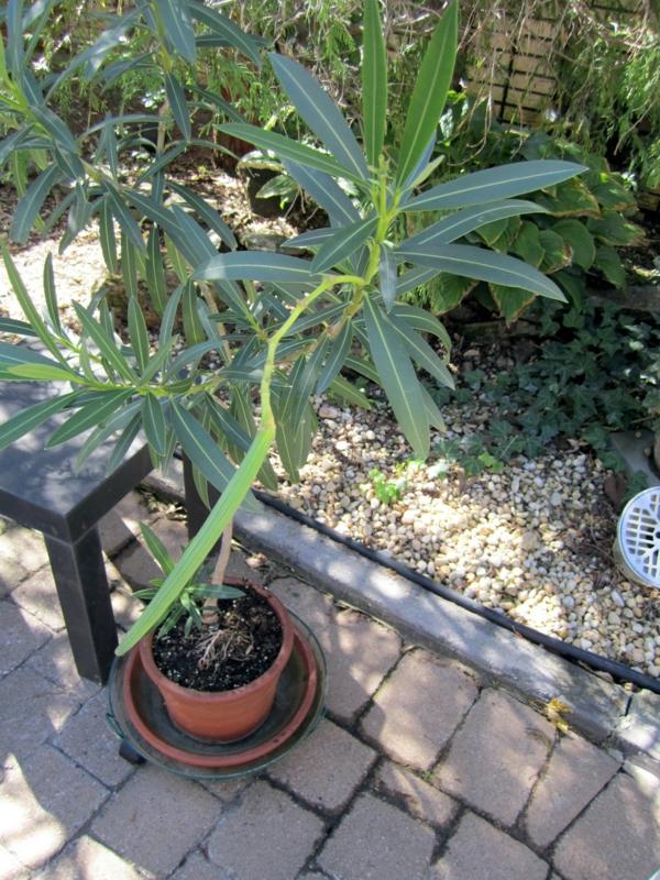 oleander pflege sommer