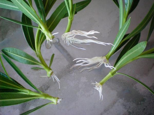 oleander pflege stecklinge