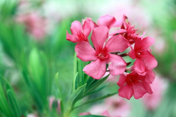 oleander pflege tipps