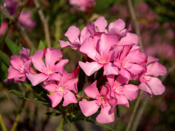 roserne blüten oleander pflege