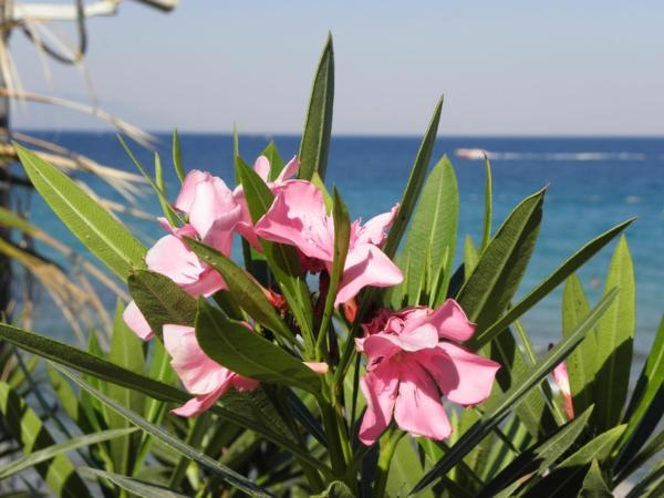 sommer urlaub griechenland oleander pflege