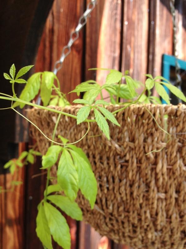 starke heipflanze jiaogulan kraut der unsterblichkeit