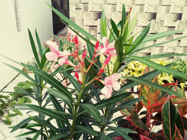 terrassengestaltung meditarrande pflanzen oleander pflege