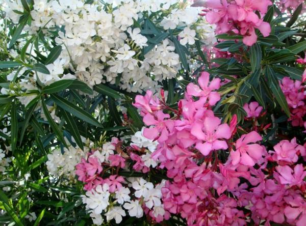 weiße rosa blüten oleander pflege