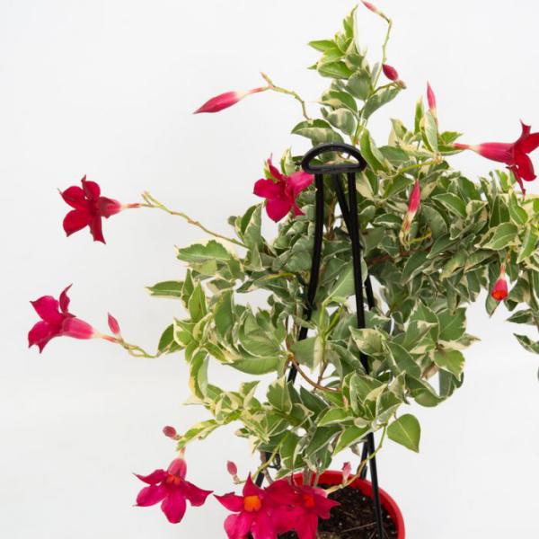 Dipladenia Kletterpflanze Rankhilfe hellgrüne Blätter dunkelrote Blüten