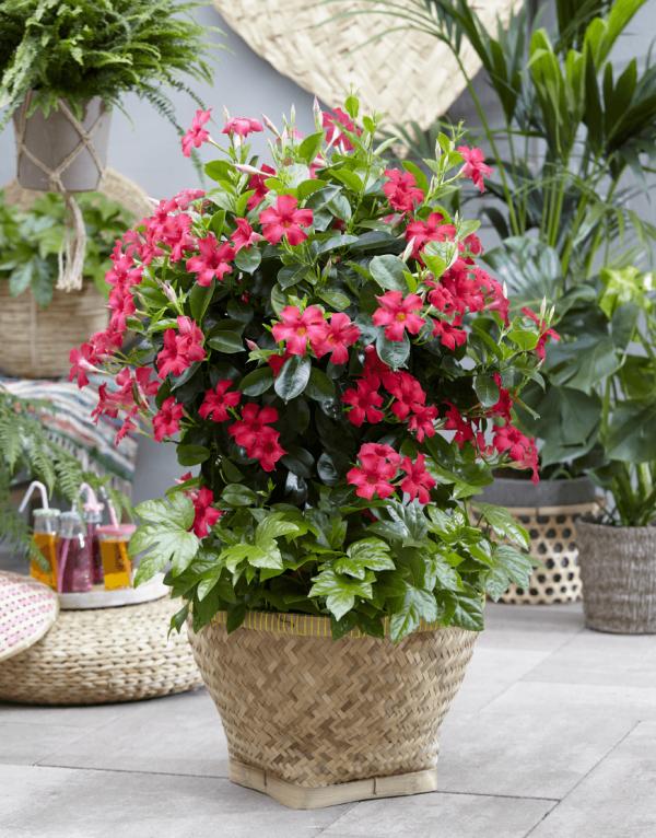 Dipladenia blühender Exot in schönem Übertopf Schmuck für Balkon Terrasse