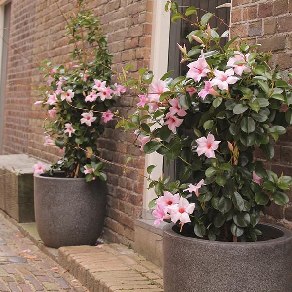Dipladenia große Pflanzkübel vor dem Hauseingang Blüten in sanftem Rosa