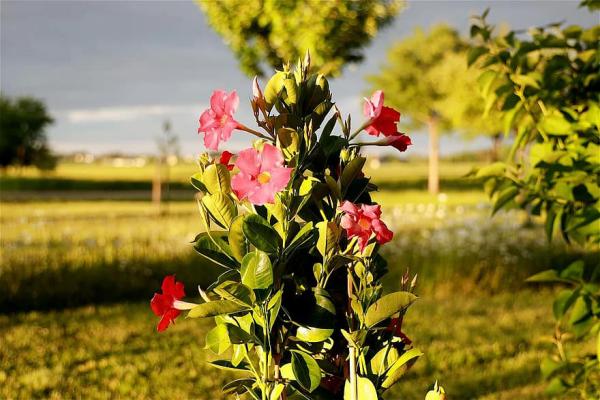 Dipladenia im Garten sonniger Standort schöne rote Blüten grüne Blätter