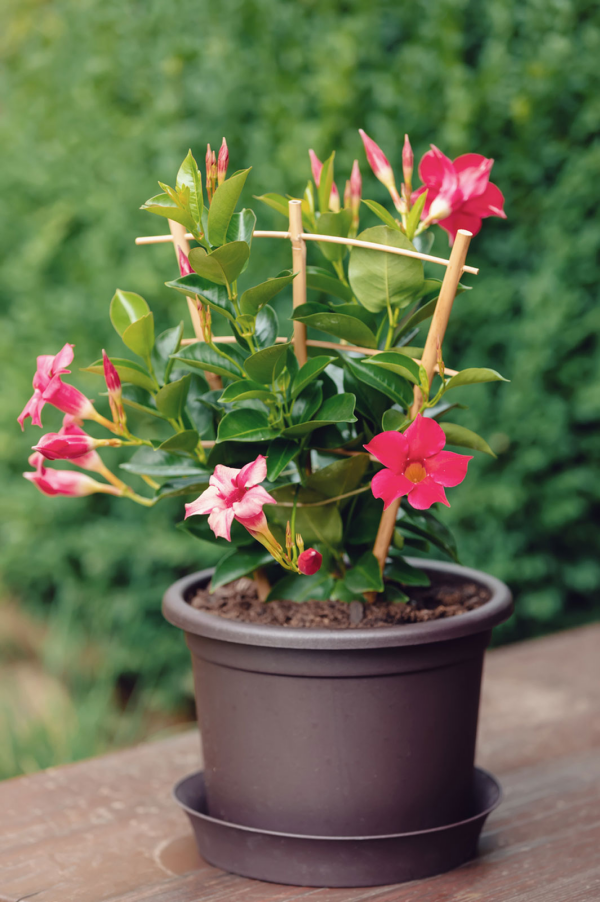 Dipladenia im Topf Rankhilfe Vorsicht die Pflanze ist giftig