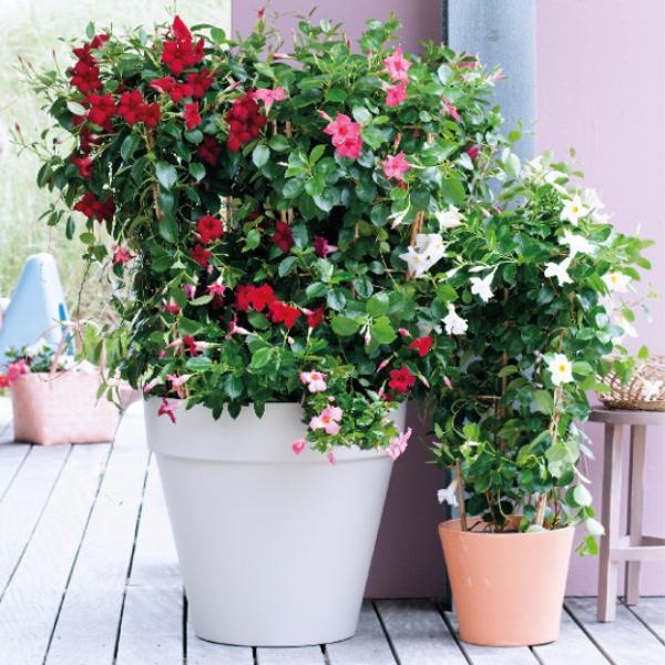 Dipladenia rote rosa weiße Blüten zwei Blumentöpfe auf südlichem Balkon oder Terrasse