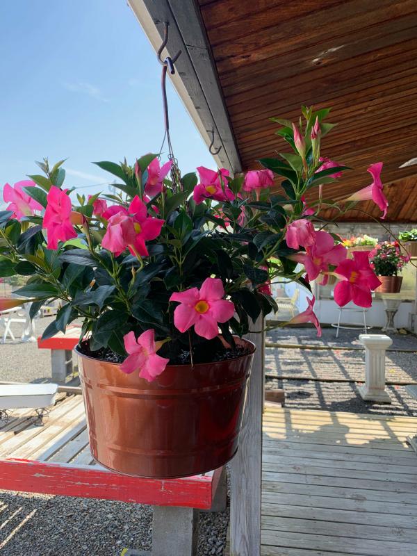 Dipladenia schöne pinkfarbene Blüten benötigt regelmäßige Wassergaben düngen alle 2 Wochen