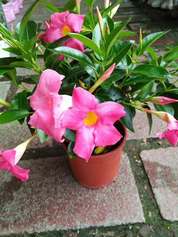 Dipladenia schöne rosa Blüten bei richtiger Pflege