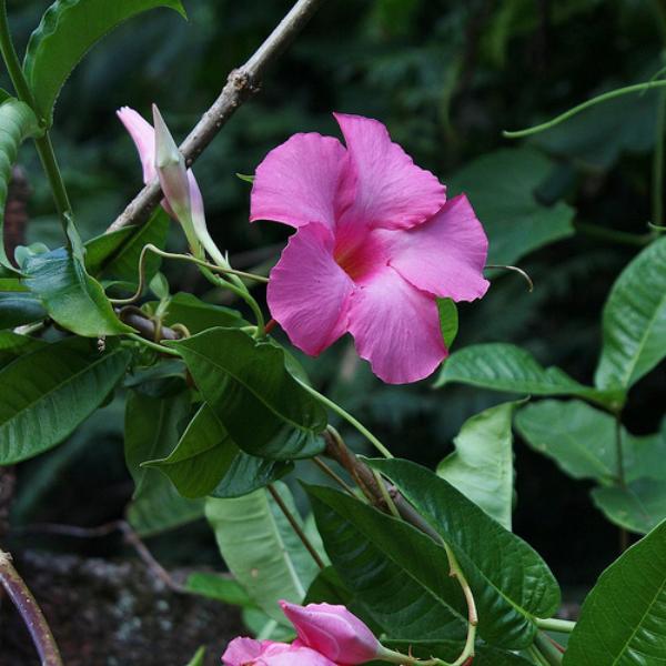 Dipladenia schöne violette Blüte sattgrüne Blätter Vorsicht giftig