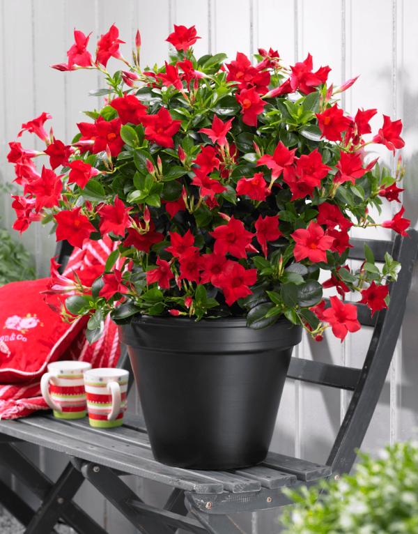 Dipladenia schwarzer Topf rote Blüten schöner Anblick südamerikanische Schönheit