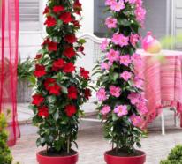 Dipladenia – ein exotischer Dauerblüher für den Außenbereich